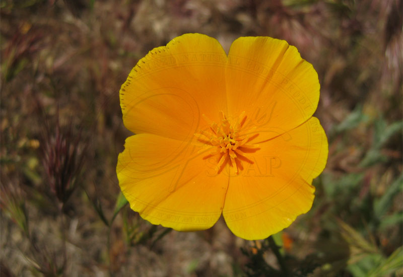 bees california poppy